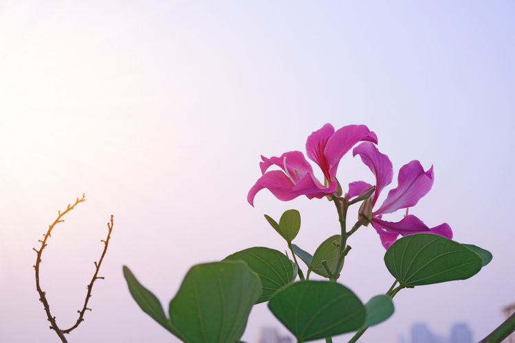 A bunch of Purple Bauhinia on cloudy sky and sunshine morning background Fabaceae Orchid Pink Bauhinia Beauty In Nature Blakeana Blooming Blossom Botany Branch Clear Sky Flower Flower Head Foliage Fragility Freshness Growth Hongkong Orchid Leaf Nature Petal Plant Pollen Purple Purpurea
