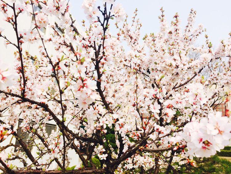 앵도나무... Flowers Aengdo Tree Tree Iphone6plus Spring Flowers Taking Photos In Suwon
