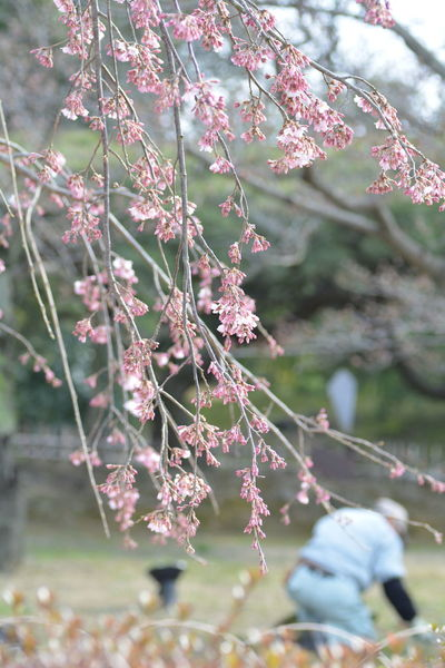 EyeEm 2015 Nikon D5200 Japan TAMROM Cherry-blossoms サクラ 桜 さくら Sakura 栗林公園