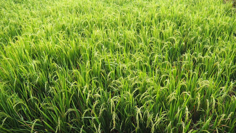 Rice Field Rice Paddy Rice Field INDONESIA Grass Energy Energetic Power Botanical Healthy Peaceful Nutrition Green