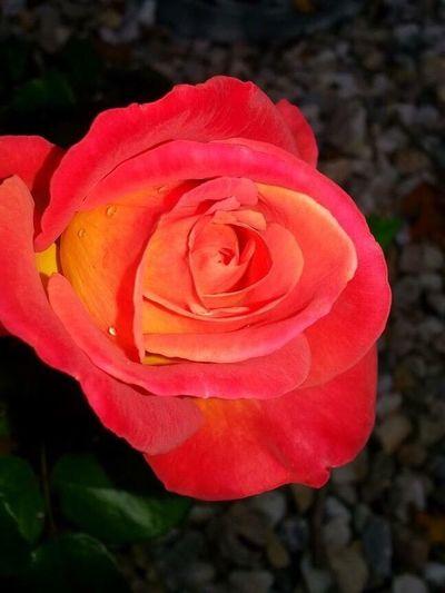 Rose🌹 Sunset Rosé