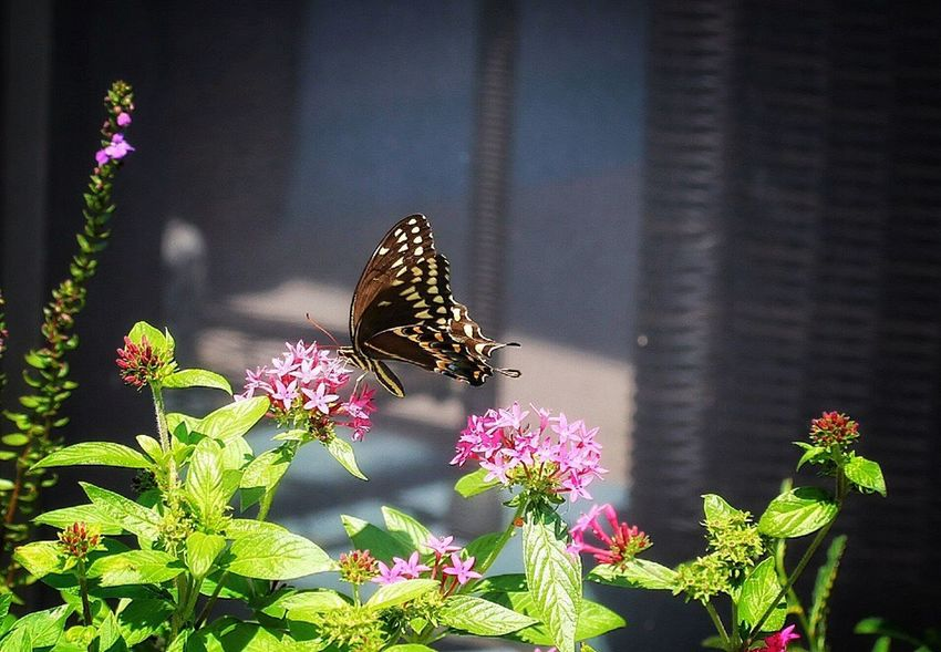 A Butterfly kind of day. Nature Bluffton Sc, Animal Themes One Animal Animals In The Wild Wildlife Insect Fragility Freshness Butterfly Butterfly - Insect Growth Plant Beauty In Nature Petal Pollination Focus On Foreground Building Exterior Nature Perching Bluffton South Carolina Bluffton SC My backyard Relaxing My Favorite Things outdoors