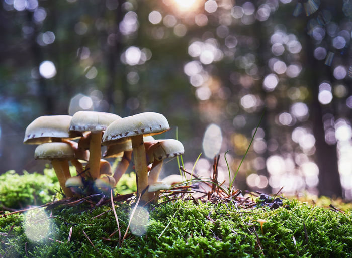 Group of mushrooms on light green moss against a blurred background with the bokeh of radiant  sun