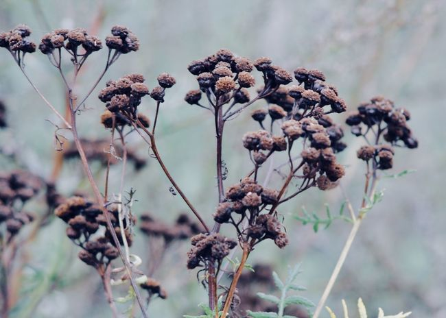 dried tansy flowers on the field Copy Space Field Backgrounds Beauty In Nature Branch Change Close-up Cold Concept Day Dead Plant Dried Plant Dry Flower Flower Head Focus On Foreground Fragility Garden Growth Mood Nature Outdoors Plant Tansy Wilted Plant