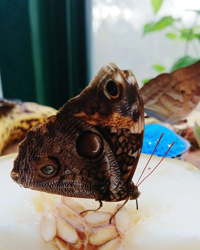 Butterfly Butterfly - Insect One Animal Animal Wildlife Animal Themes No People Nature Close-up Indoors  Eating Butterfly Closeup