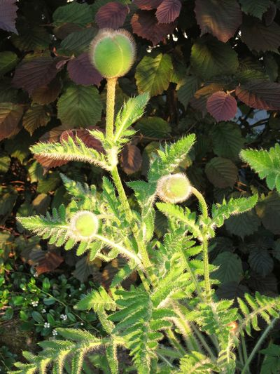 Beauty In Nature Close-up Day Freshness Green Color Growth Leaf Mohnknospen Nature No People Outdoors Plant Poppy Buds