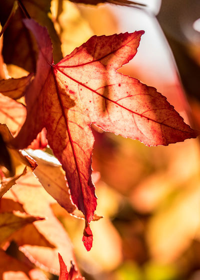 Autumn Leaf Plant Part Change Close-up Plant Maple Leaf Beauty In Nature Nature Orange Color No People Focus On Foreground Leaves Tree Day Fragility Vulnerability  Leaf Vein Red Outdoors Maple Tree Natural Condition Fall