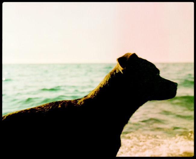 Free the Dog Analogue Photography Animal Bath Batumi Batumi Beach Beach Dance Dog Dog On The Beach Fur Georgia Kobuleti Nature On The Way Plaubel Makina 67 Sand Summer Sun Tongue Water Xpro
