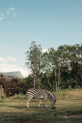 Zebra out in the open Tree Sky Plant Zebra Animal Animal Themes Mammal Animal Wildlife Striped Nature Safari No People One Animal Field Animals In The Wild Land Animal Markings Grass Day