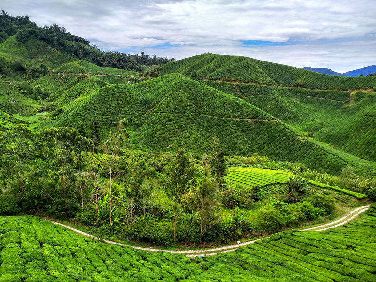 Agriculture Beauty In Nature Cloud - Sky Day Environment Field Foliage Green Color Growth Land Landscape Lush Foliage Nature No People Outdoors Plant Plantation Rolling Landscape Rural Scene Scenics - Nature Sky Tea Crop Tranquil Scene Tranquility