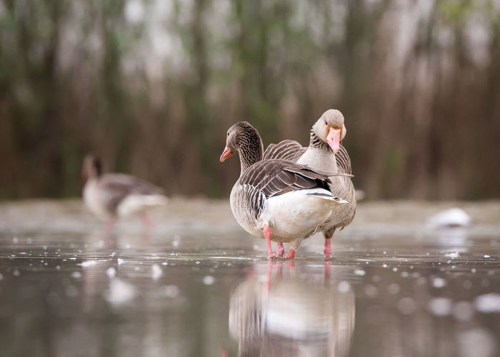 Animal Themes Animal Wildlife Animals In The Wild Beauty In Nature Bird Close-up Day Duck Goose Lake Nature No People Outdoors Togetherness Water Waterfront