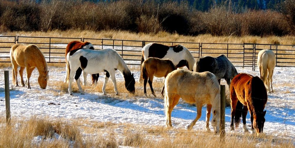 Alexis Creek,Canada Animal Themes Fences Horses Outdoors Snow Winter Outdoor Photography Outdoors❤