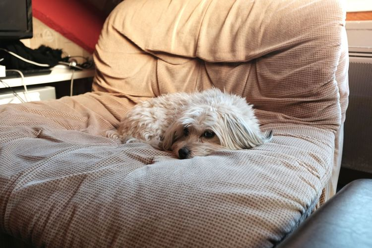 EyeEm Selects Pets Dog Domestic Animals Indoors  Sofa Relaxation