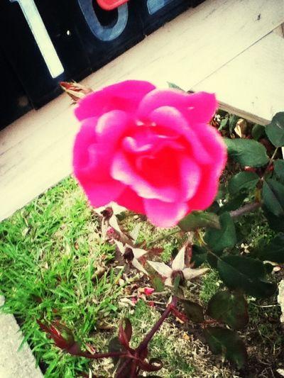 Flower In My Yard!❤