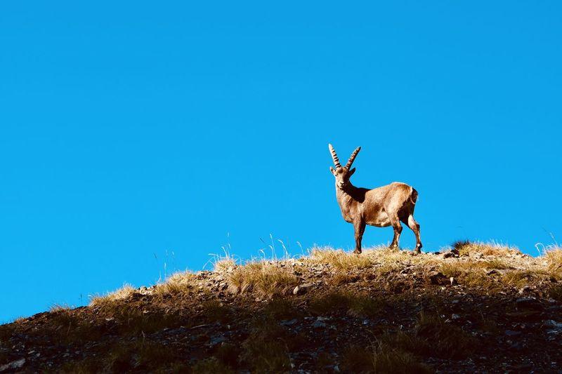 Deer standing on field against clear blue sky