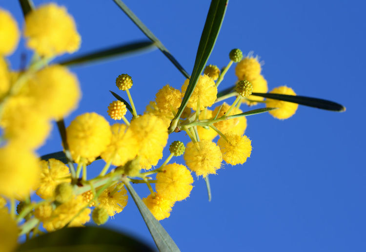 Golden Wattle – Acacia pycnantha Beautiful yellow mimosa Springtime Acacia Blooming Flowers Golden Macro Photography Nature Acacia Flowers Beauty In Nature Blooming Flower Blossom Clear Sky Copy Space In Sky Flower Fragility Freshness Golden Wattle Growth Macro Nature Mimosa Petal Selective Focus Springtime Blossoms Wattle Wattle Flower Yellow Yelow Flowers