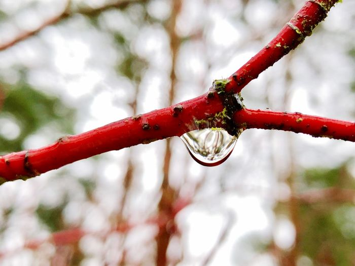 EyeEm Best Shots - Nature EyeEm Nature Lover Drop Collection Droplets Collection Drops Of Water Water Reflections Nature Photography Nature_collection Red Color Tree Trees And Sky Red Focus On Foreground No People Outdoors Day Close-up Nature Wet Beauty In Nature Water Tree