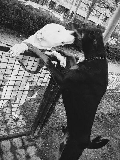 Friends 👨❤️💋👨 Dogs Love Friends Dobermann Dogo Argentino Blackandwhite White Black Yingyang Taking Photos Playing Park Beautiful Day Dog Love Dogoftheday Faces Of EyeEm Good Morning