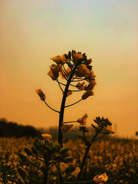 Flower Sunset Growth Nature Fragility Sky Beauty In Nature Dusk Orange Color No People Plant Flower Head Freshness Close-up Outdoors Tree Day EyeEm Nature Scenics EyeEm Nature Lover