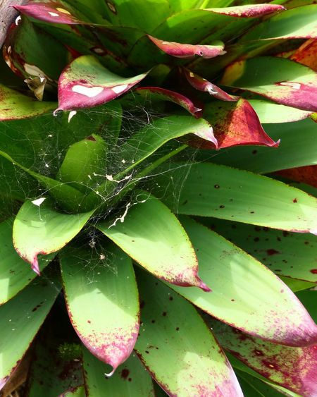 Web Lumix Costa Rica Spider Web Web Macro Plant Part Leaf Flower Full Frame Water Backgrounds Autumn Close-up Plant Green Color Botanical Garden Tropical Flower Flowering Plant Focus Dew Spider Petunia Bird Of Paradise - Plant Cactus Photosynthesis Leaf Vein