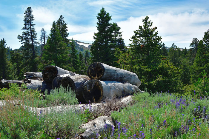 View in the Warner Mountains in Modoc County, California. Beauty In Nature Blue Cloud - Sky Clouds Day Evergreen Field Grass Gray Green Color Growth Landscape Log Pile Logs Nature No People Outdoors Pine Tree Plant Sky Tranquil Scene Tranquility Tree White