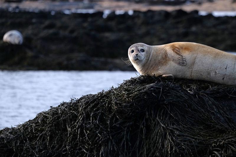 Nice seal, iceland