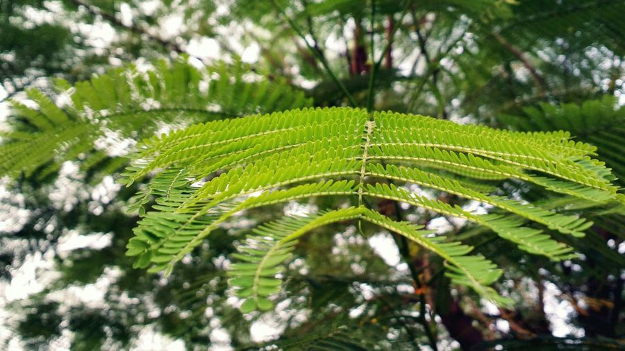 || Nature Theories || Delhi, India. TheFoneFanatic Nature PhonePhotography Mobilephotography Nokia808 Vacations Bokeh Leaf Tree Branch Leaf Fern Close-up Green Color Green Woods Greenery Lush Autumn Mood