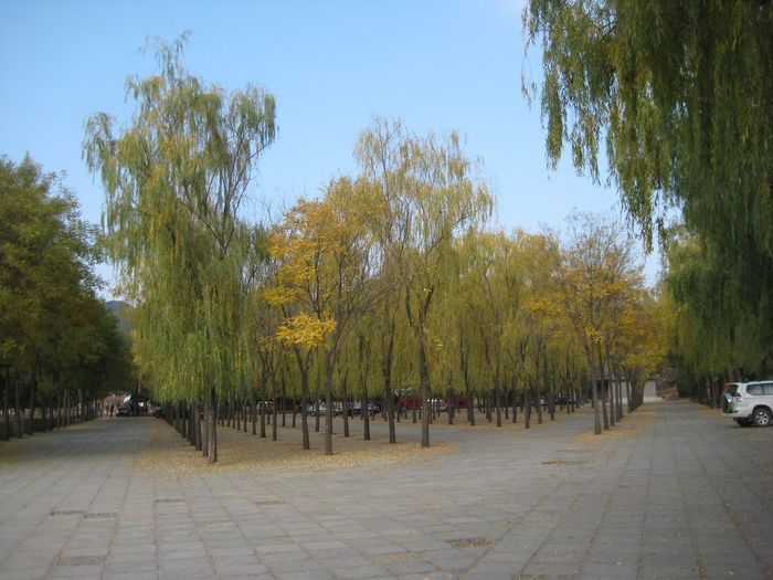 Autumn🍁🍁🍁 Autumn Beautifully Organized Trees China Trees In A Row Yellow Leaves