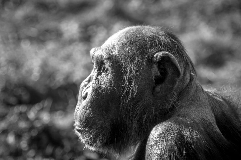 Monkey Portrait Primate Monkey Mammal Animal Animal Themes Looking Looking Away Profile View Outdoors Animal Head  Animals In The Wild Animal Wildlife Day Focus On Foreground No People Side View Portrait Zoo One Animal Ape Vertebrate Close-up Animal Body Part Contemplation
