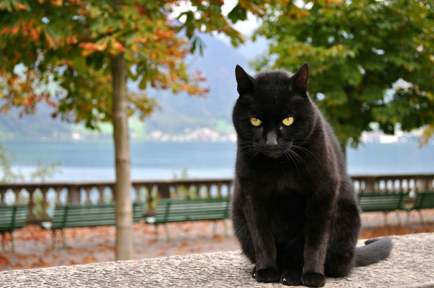 Spiez Black Cat Autumn Animal Cat Switzerland