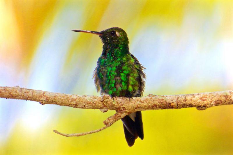 Humming Bird Bahamas Green Tropical Paradise Tropical Birds