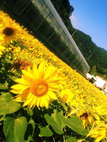 向日葵 Flowers Sunflower Flowerporn