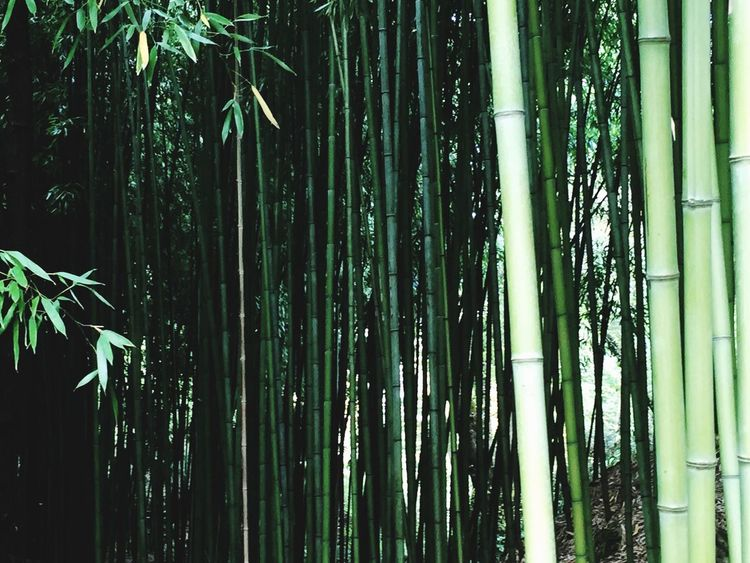 Happy New Year everyone !!! Open Edit Nature Nature_collection Bamboo Bamboo Forest Green Abundance Happy New Year Beautiful Nature Nature Photography