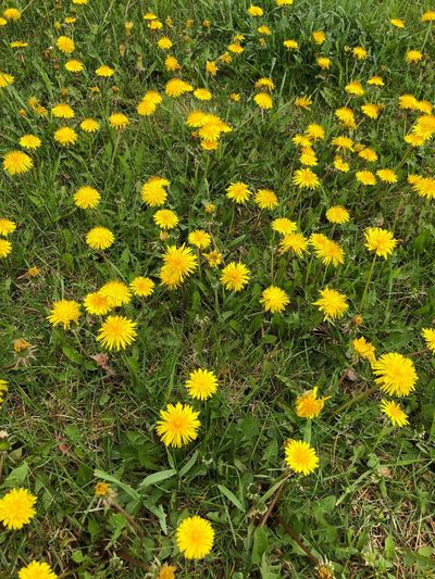Dandelions taking over the grass Tranquil Scene EyeEm Nature Lover Flower Flowering Plant Yellow Plant Freshness Fragility Beauty In Nature Growth Vulnerability  Flower Head Full Frame Inflorescence Green Color Backgrounds Nature Petal Day High Angle View No People Close-up