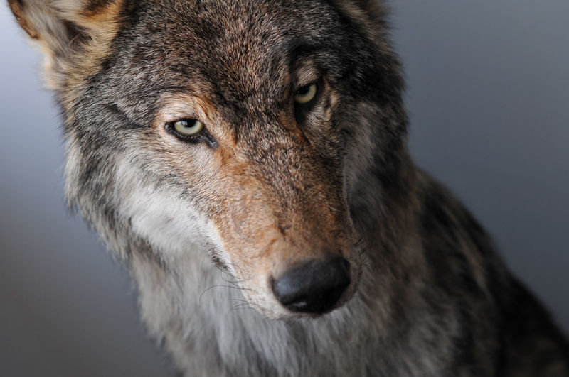 Close-up of wolf taxidermy