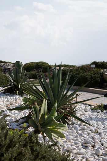 Plant Sky Nature Growth No People Day Cloud - Sky Beauty In Nature Land Tranquility Field Green Color Succulent Plant Tranquil Scene Landscape Environment Outdoors Freshness Scenics - Nature Cactus Pebble