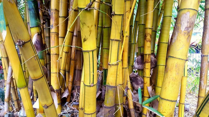 Bamboo Bamboo Forest Bamboo - Plant Bamboo Shoots Bamboo Trees Bamboo Shoot love bamboo!