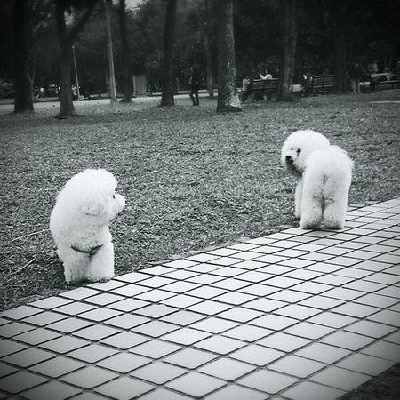 What's going on here? 比熊 比熊犬 寵物 犬 Bichon Bichonfrise Dog Puppy ビション ビションフリーゼ