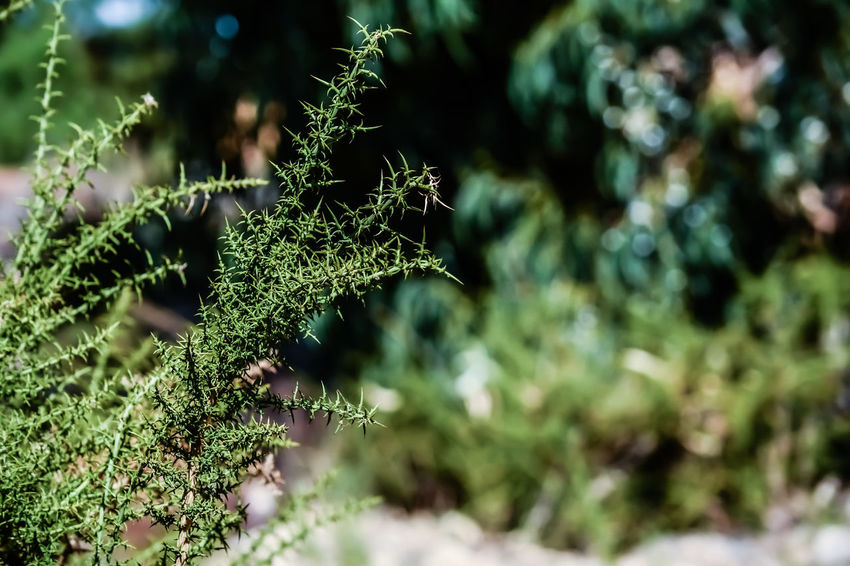 Beauty In Nature Close-up Coniferous Tree Day Fir Tree Focus On Foreground Fragility Freshness Green Color Growth Leaf Lichen Moss Nature No People Outdoors Plant Plant Part Selective Focus Spiky Sunlight Tranquility Tree Vulnerability