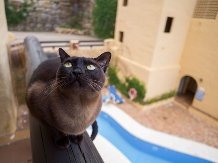 Terrace Animal Themes Burmese Cat Cat Close-up Day Domestic Animals Domestic Cat Feline Focus On Foreground Looking Up No People One Animal Pets Pool Portrait Whisker