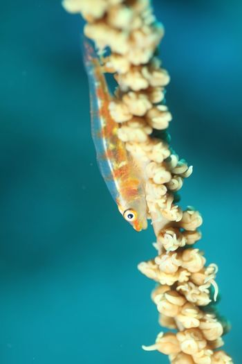 Abundance Beauty In Nature Blue Close-up Day Detail Focus On Foreground Goby Nature No People Outdoors Part Of Selective Focus Sky Whip Coral Whip Coral Goby