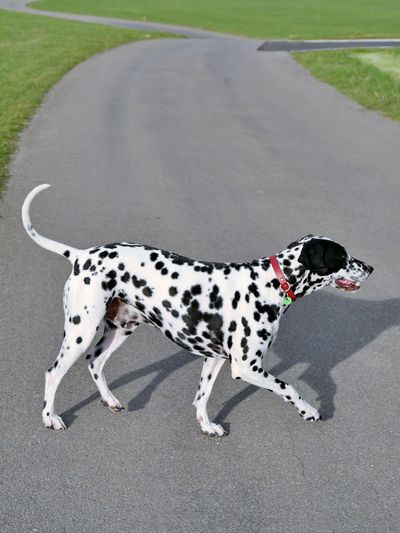 Full Length Of Dalmatian Walking On Country Road