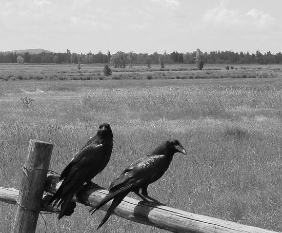 Animal Themes Animals In The Wild Beak Bird Day Field Landscape Male Animal Nature No People Outdoors Perching Ravens Rural Scene Scenics Sky Tranquil Scene Tranquility Two Animals Wildlife Wooden Fence Zoology