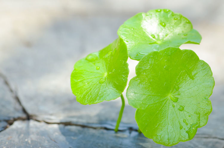 Pennywort born on the old wooden Drops Of Water Textured  Background Texture Texture And Surfaces Old Tree Weather Born To Be Wild Garden Photography Garden Foodphotography Nature Beautiful Nature Green Leaf Green Leaves Green Pennywort Healthy Eating