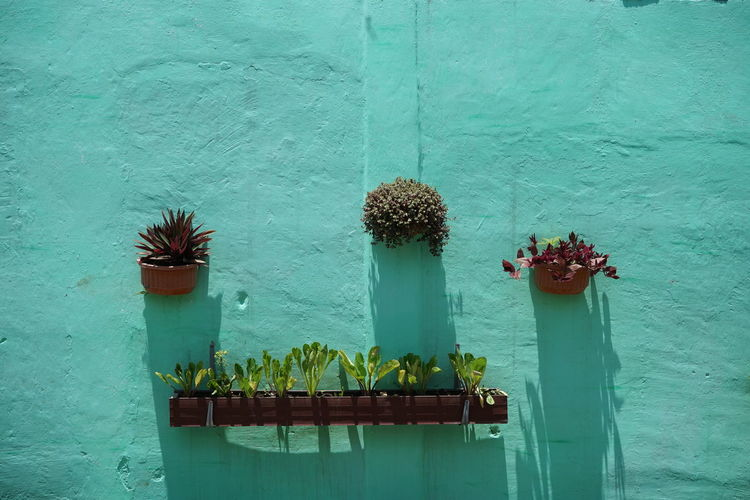 Potted plant against blue wall