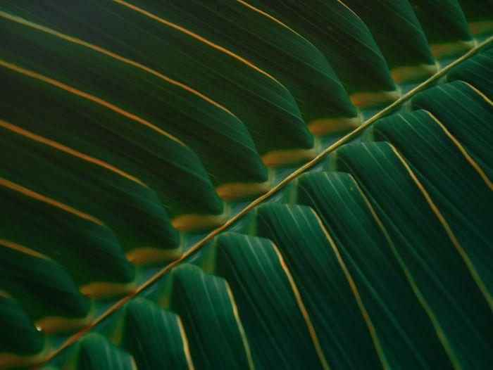 Full frame shot of coconut green leaves