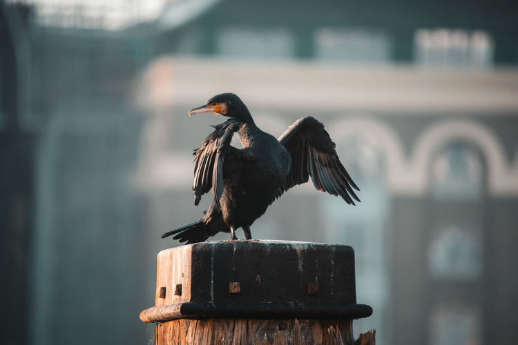 Close-up of cormorant perching on wooden post