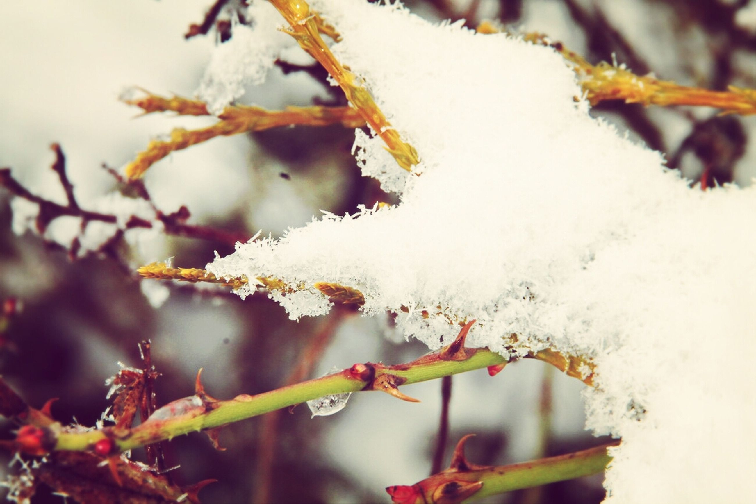 winter, snow, cold temperature, focus on foreground, season, close-up, branch, nature, growth, frozen, beauty in nature, flower, twig, plant, weather, fragility, selective focus, tree, outdoors, white color