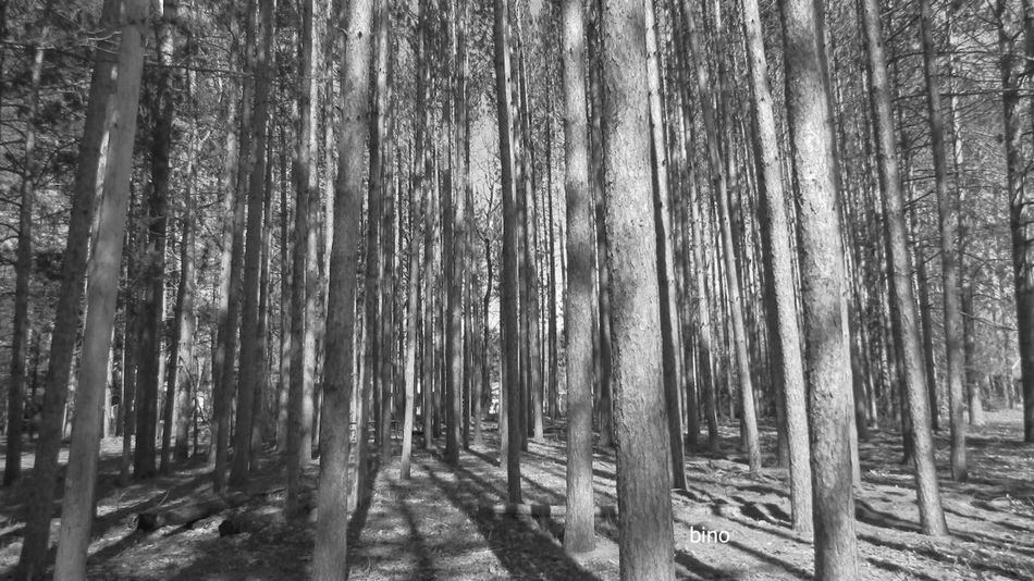 Forest Tranquility Among The Pines Black And White Photography Cool_capture_ Cadillac Michigan