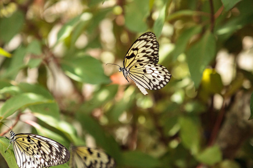 Mating dance of the Tree nymph butterfly Idea malabarica in a tropical garden Idea Malabarica Tree Nymph Butterfly Animal Animal Themes Animal Wildlife Animal Wing Animals In The Wild Beauty In Nature Butterfly Butterfly - Insect Close-up Day Insect Invertebrate Mating Dance Nature No People Nuptial Dance One Animal Outdoors Paper Kite Butterfly Plant Tree Nymph